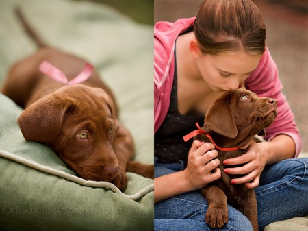 CHOCOLATE ENGLISH LABRADOR RETREIVER PUPPIES...