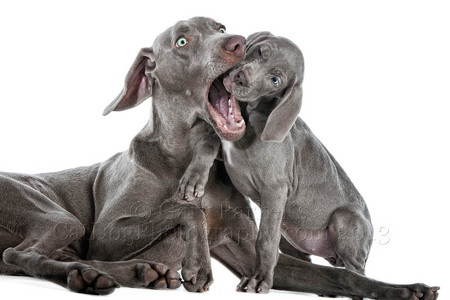 WEIMARANER PUPS ARE FEARLESS...