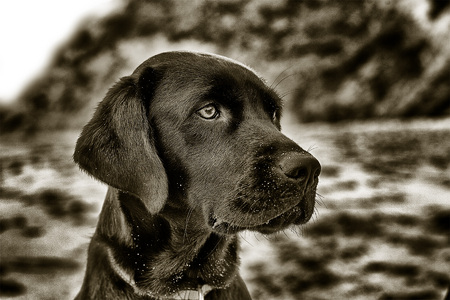 MICKEY, ENGLISH LABRADOR RETRIEVER, WARM-TONED...