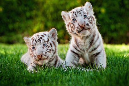 RARE WHITE BENGAL TIGER CUBS, AT 2 WEEKS OLD STILL UNABLE TO STAND...