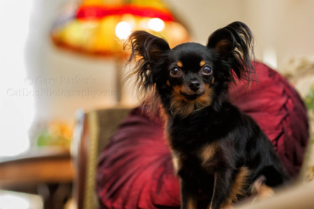 RUSSIAN TOY TERRIER, PHOTOGRAPHED ON LOCATION FOR HUMANE SOCIETY SILICON VALLEY