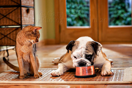 Abyssinian cat and Piggy, an English Bulldog, for Veterinary Pet Insurance