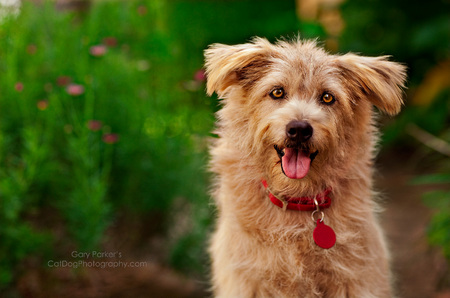 SCRUFF, A TERRIER MIX, FOR VPI