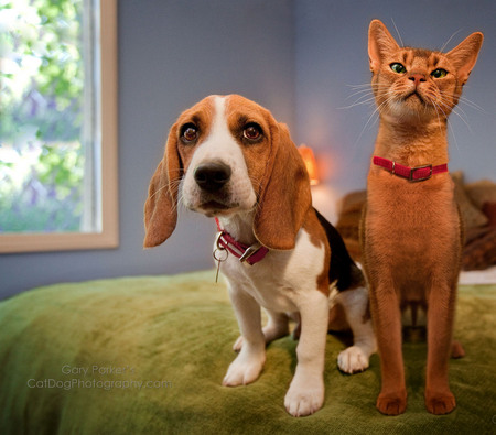 JUST HANGING OUT, WATCHIN' THE GAME..  BEAGLE & ABYSSINIAN