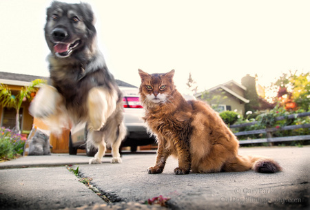 "CAT HERDING ~ AMERICAN ALSATIAN ""PRUDENCE"", A BREED KNOWN AS DIREWOLVES,  INSTINCTIVELY HERDS HER PACK'S SOMALI CAT OUT OF THE DANGEROUS SIDEWALK ~"