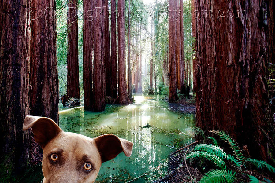 Redwood Dog by Gary Parker - ALL RIGHTS RESERVED