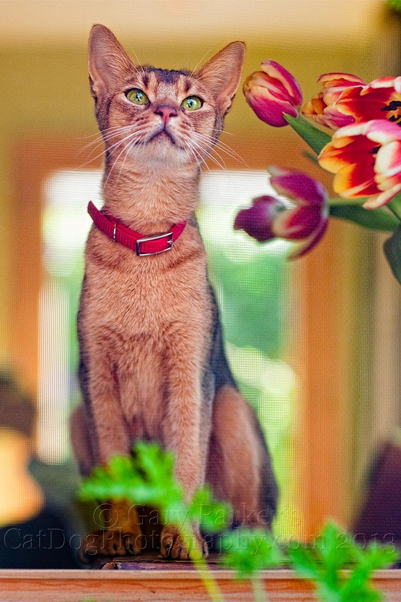 ABYSSINIAN WATCHING HUMMING BIRDS...