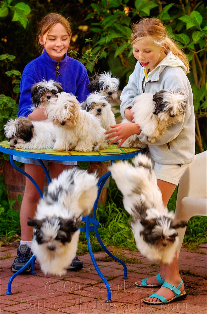 LOTSA LAMALESE!  LAMALESE ORIGINATED AS A LHASA APSO & MALTESE CROSS