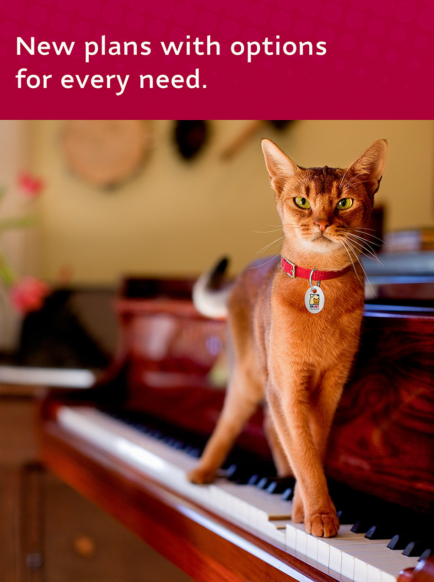 ABYSSINIAN CAT FOR VETERINARY PET INSURANCE (VPI)