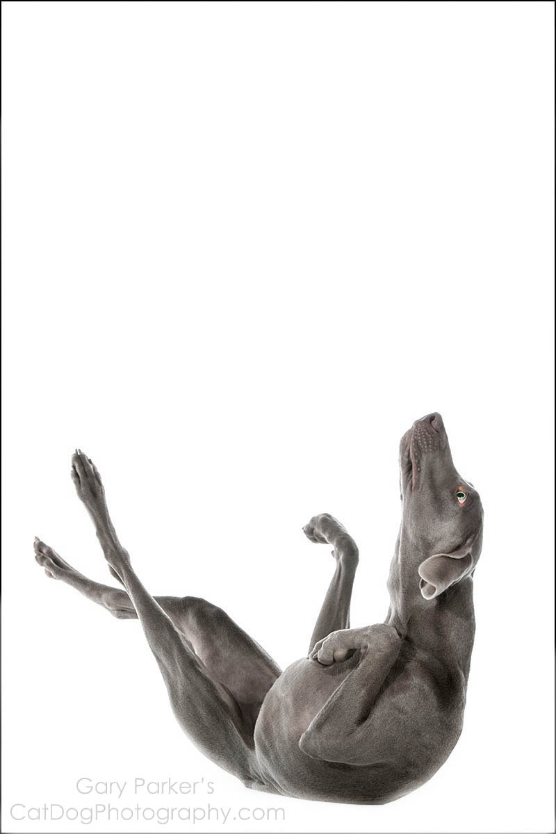 WEIMARANERS ARE AWKWARDLY AGILE AND GRACEFULLY ATHLETIC...