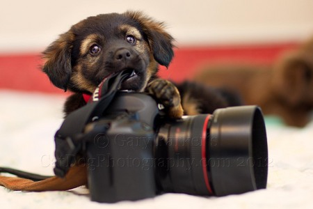 PUPPIES CHEW ABOUT EVERYTHING INCLUDING MY CAMERA STRAP.. FOR HUMANE SOCIETY SILICON VALLEY