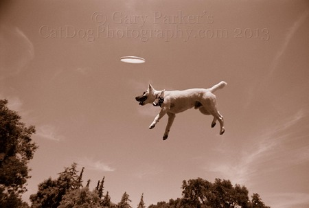 JACK RUSELL TERRIER LEVITATING IN MIDAIR...