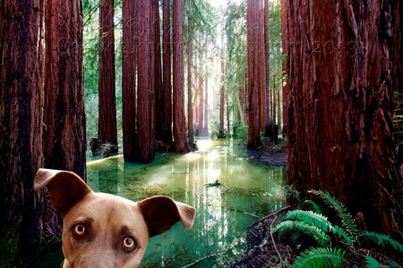 REDWOOD SWAMP DOG, IN AN UNUSUAL FLOODED REDWOOD GROVE...