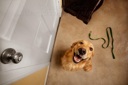 GOLDEN RETRIEVER RETRIEVED HIS LEASH FOR A WALK!  LET'S GO FOR A WALK!!!!!!