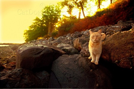 ORCAS ISLAND, WA, PASSING MOMENT WITH A BOLDLY CONFIDENT YELLOW TABBY...