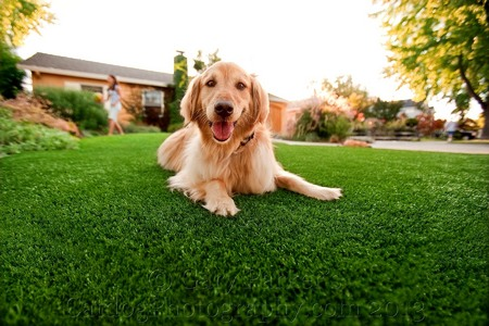 SMARTY JONES, GOLDEN RETRIEVER, FOR PUP GEAR ARTIFICIAL DOG TURF