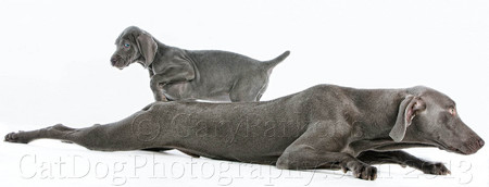 WEIMARANER PARENT & PUP