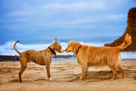 THE FEARLESS GOLDEN RETRIEVER SMARTY JONES FORCES AN AGGRESSIVE BULLDOG TO LOOK AWAY...