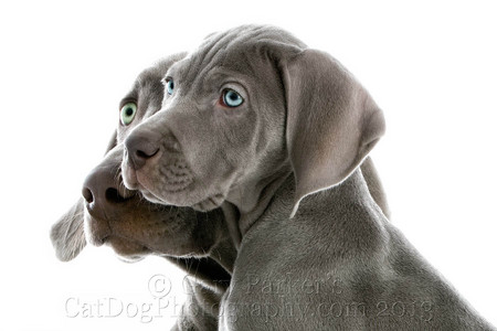 WEIMARANER PARENT AND PUPPY FOR AFB INTERNATIONAL