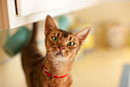 ABYSSINIAN ON THE KITCHEN COUNTER...  (FOR INVISIBLE FENCE)