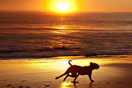 SUNSET MOMENT WITH A LABRADOR RETRIEVER RUNNING FOR THE PURE JOY OF IT