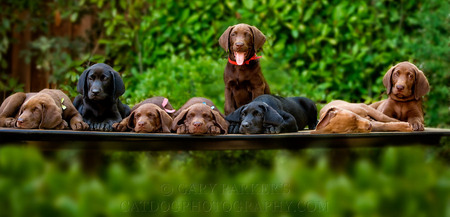 ENGLISH LABRADOR RETRIEVER PUPPIES...