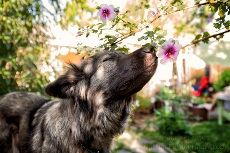SCENT-DRIVEN DOG ACTUALLY SMELLING THE FLOWERS...
