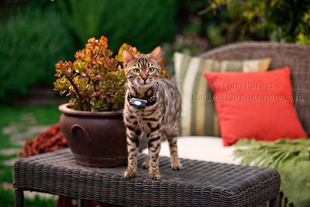 PET SAFE ELECTRONIC COLLARS KEEP YOUR KITTY SAFE AND OUT OF TROUBLE...