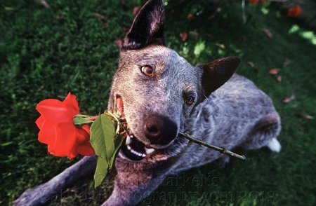 WRANGER, HOLLYWOOD STUNT DOG, AN AUSTRALIAN CATTLE DOG, AKA QUEENSLAND BLUE HEELER