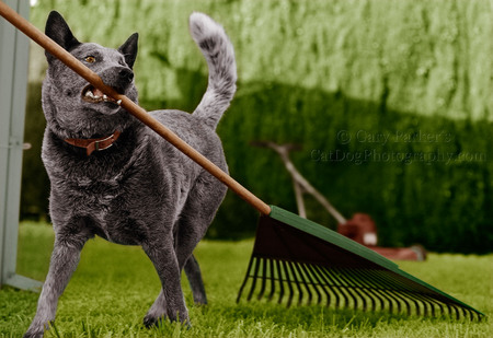 WRANGLER, HOLLYWOOD STUNT DOG, AN AUSTRALIAN CATTLE DOG, AKA QUEENSLAND BLUE HEELER