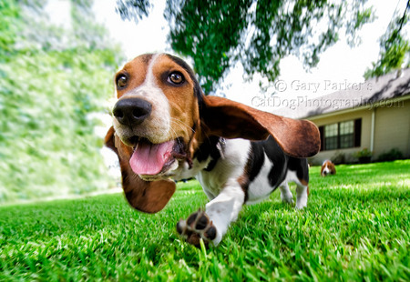 BASSETT HOUND PUP TAXIING FOR TAKEOFF..