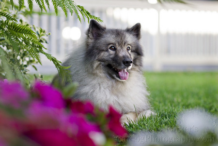 SHERWOOD, a KEESHOND, WAS RESCUED BY, DEB, HIS HUMAN MOTHER...