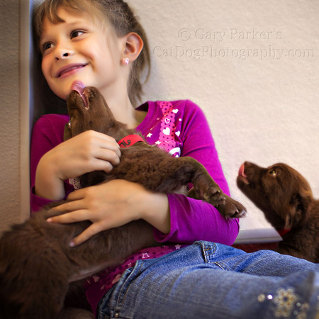 CHOCOLATE LABRADOR RETRIEVER PUPS FOR A  HUMANE SOCIETY SILICON VALLEY CALENDAR PROJECT....