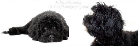 Baxter, a Portuguese Water Dog, was very comfortable in my makeshift location studio