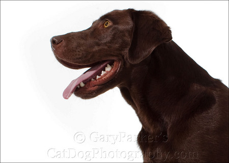 CHOCOLATE LABRADOR RETRIEVER LIVED AT A RENTAL STUDIO IN ALASKA