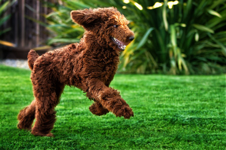 FINNEGAN, A RED STANDARD POODLE RUNS LIKE A DEER...