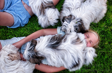 PILES OF LAMALESE...  LAMALESE ARE A MIX OF MALTESE AND LHASA APSO