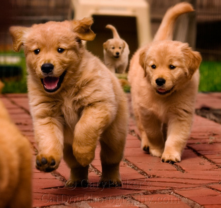 GORGEOUS GOLDENS GALLOPING