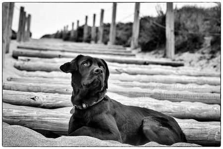 MICKEY, AN ENGLISH LABRADOR RETRIEVER, POSES POLITELY...