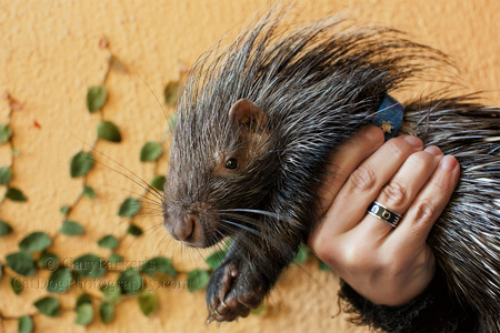 BABY AFRICAN CRESTED PORCUPINE