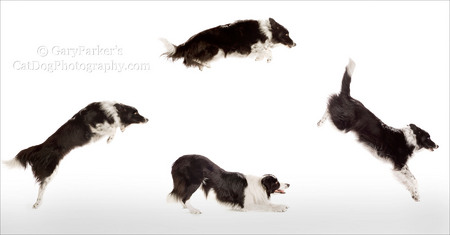 BORDER COLLIE PERFORMS FOR IAMS/EUKANUBA AD