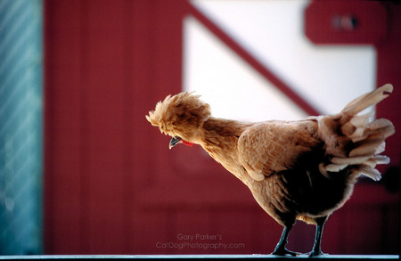 SAN FRANCISCO CHICKEN WITH A RADICAL HAIRSTYLE..
