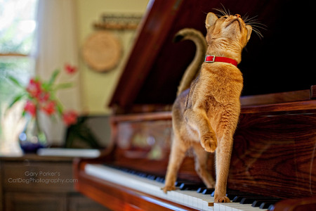 ABYSSINIAN PIANIST