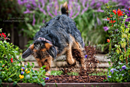 INVISIBLE FENCE; MIXED AIREDALE RUINING THE LANDSCAPING