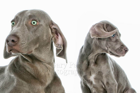 WEIMARANER MOTHER/SON FOR AFB INTERNATIONAL...