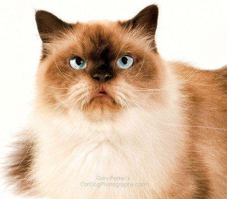 Himalayan Cat for Avoderm