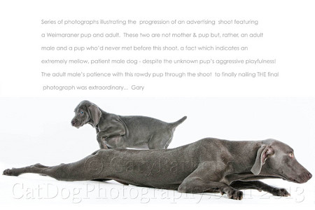 WEIMARANERS ARE THE PERFECT COLOR FOR PHOTOGRAPHY...