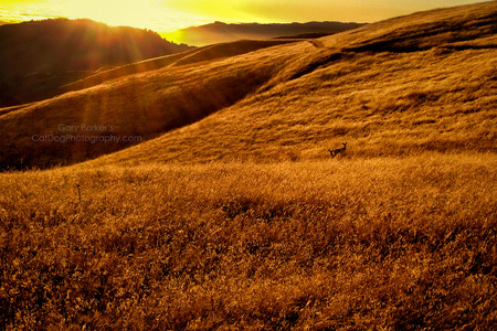 BLACKTAIL DEER AT SUNSET...