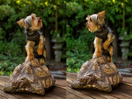 TURTLE DOG...  YORKIE GREW UP WITH AFRICAN LEOPARD TORTOISE.